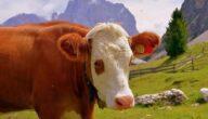 تطعيم الأبقار في أستراليا