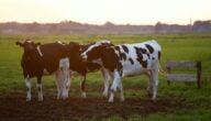 خروج رحم البقرة بعد الولادة