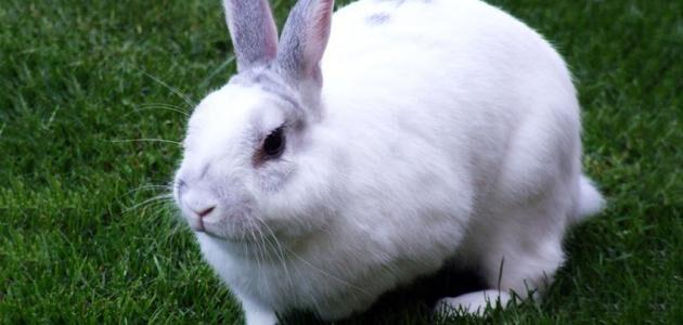 طرق علاج أمراض الأرانب