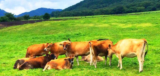 علاج مرض بوصفير عند الأبقار