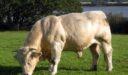 تصدير الأبقار في فرنسا
