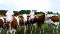 كيف تغذى الأبقار الجافة