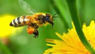 مرض تعفن حضنة النحل الطباشيري