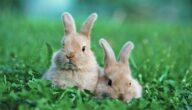 مرض جرب الأرانب وعلاجه