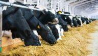 مشاريع مزارع الأبقار في الأردن