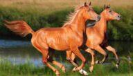 موطن خيول الكروش وصفاتها