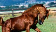 موطن خيول كحيلة العجوز وصفاتها