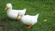 أهم تحصينات البط الوقائية
