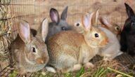 أمراض الأرانب البكتيرية