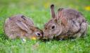 تجارة لحوم الأرانب حول العالم