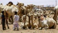 تربية الإبل في تونس