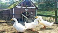 تربية البط في المنزل