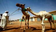 تربية الجمال في السودان