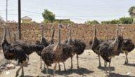 تربية النعام في أفريقيا