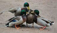 دراسة جدوى تربية البط