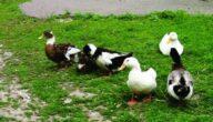 دورة تربية البط