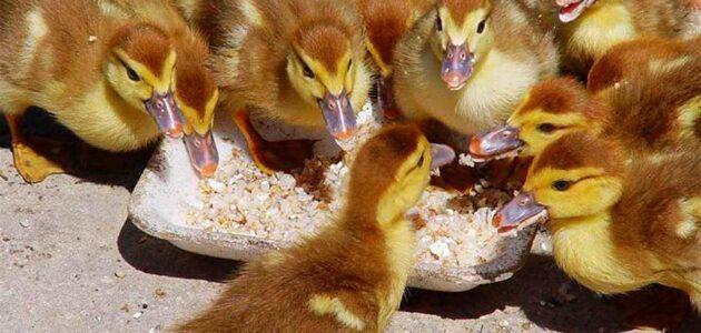 شروط تربية صغار البط