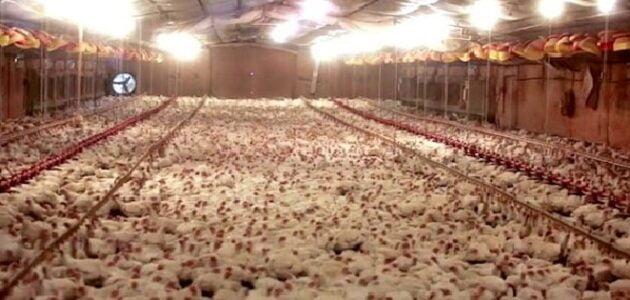 شروط مزارع تربية البط