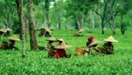 صناعة الشاي مكونات صناعة الشاي