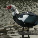 ميزات البط المسكوفي