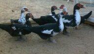 نصائح في تربية البط