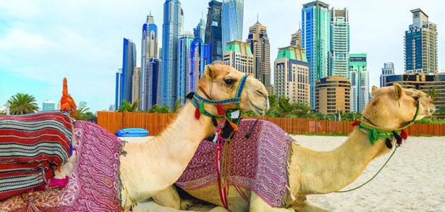 تربية الجمال في الخليج العربي