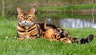 أذكى أنواع القطط في العالم
