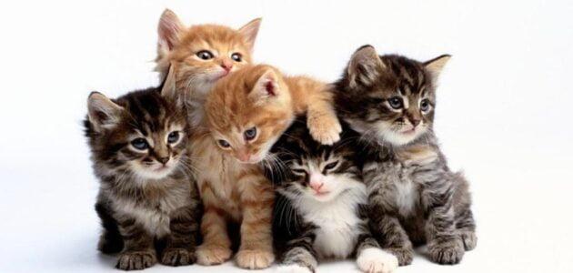 أغلى 10 سلالات قطط في العالم