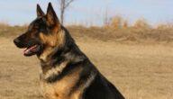 أمراض الكلاب المعدية للإنسان
