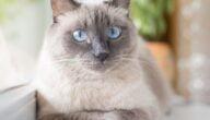 أنواع قطط السيامي