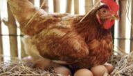 الربح من تقديم دراسة جدوى لمشروع إنتاج بيض الدجاج