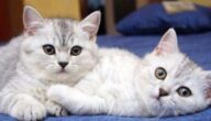 تربية القطط في المغرب