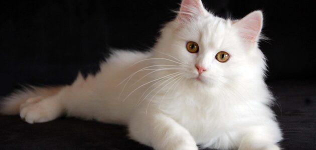 تربية قطط الشيرازي