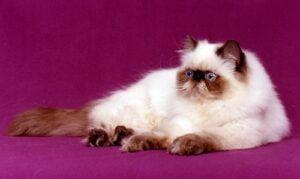 تهجين القط الشيرازي