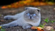 صفات القط الاسكتلندي مطوي الأذن