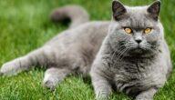 صفات القط البريطاني قصير الشعر