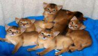 صفات القط الحبشي