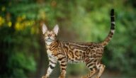 صفات قطط البنغال