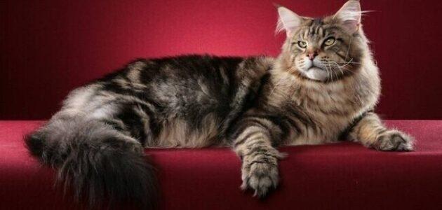 صفات قطط المين كون