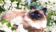 صفات قطط الهيمالايا