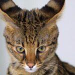 صفات قط السافانا