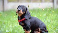 صفات كلاب الباسات
