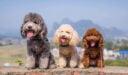 صفات كلاب البطباط