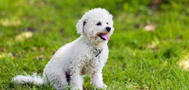 صفات كلاب البودل