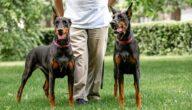 صفات كلاب الدوبرمان