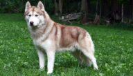 صفات كلب الهاسكي السيبيري