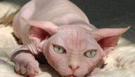 ميزات القط الفرعوني