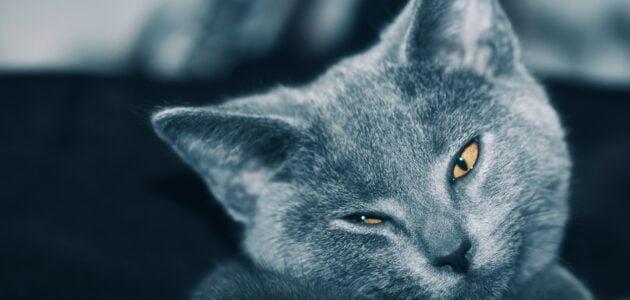 ميزات القط الفرنسي