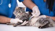 التطعيم الثلاثي والرباعي للقطط