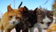 أشهر أنواع القطط في العالم